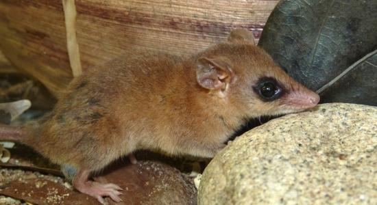 Colaboração entre pesquisadores da UENF e do NUPEM/UFRJ resulta em registro de marsupial raro na Mata Atlântica